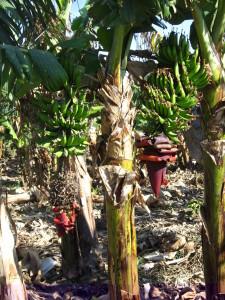 Israel_banana_trees_3